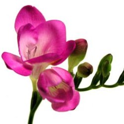 Hot pink Freesia