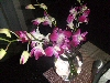 The beautiful orchids now sitting on my dining room table